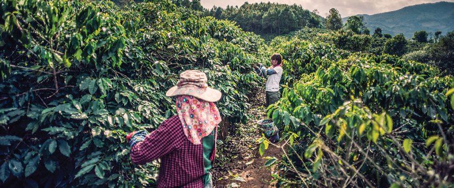 Vietnam coffee picking