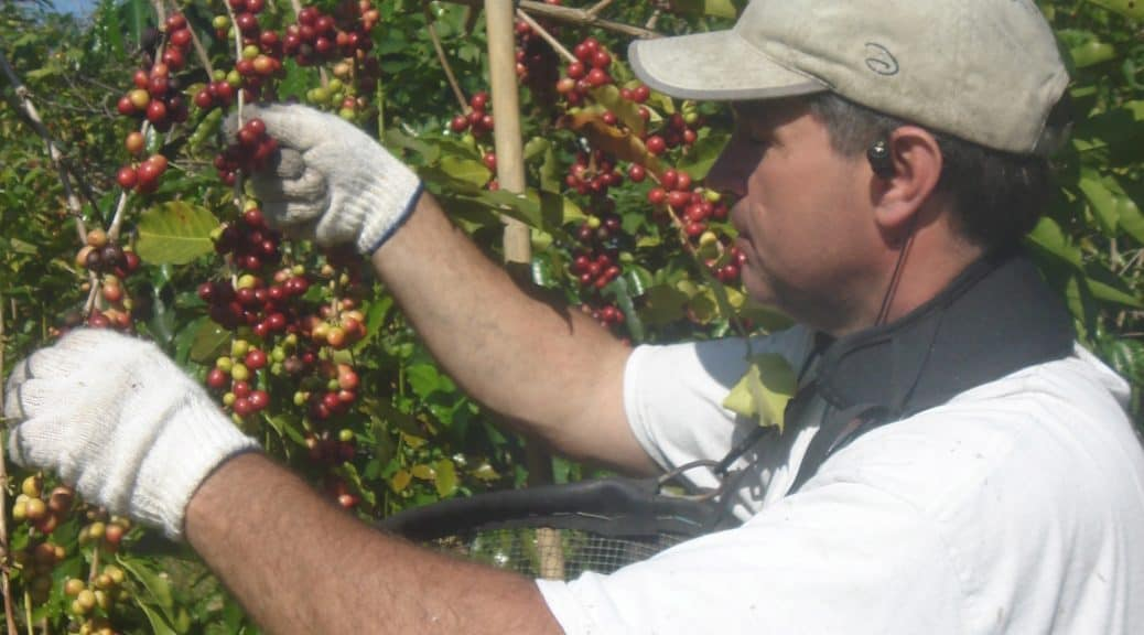 Tim picking coffee