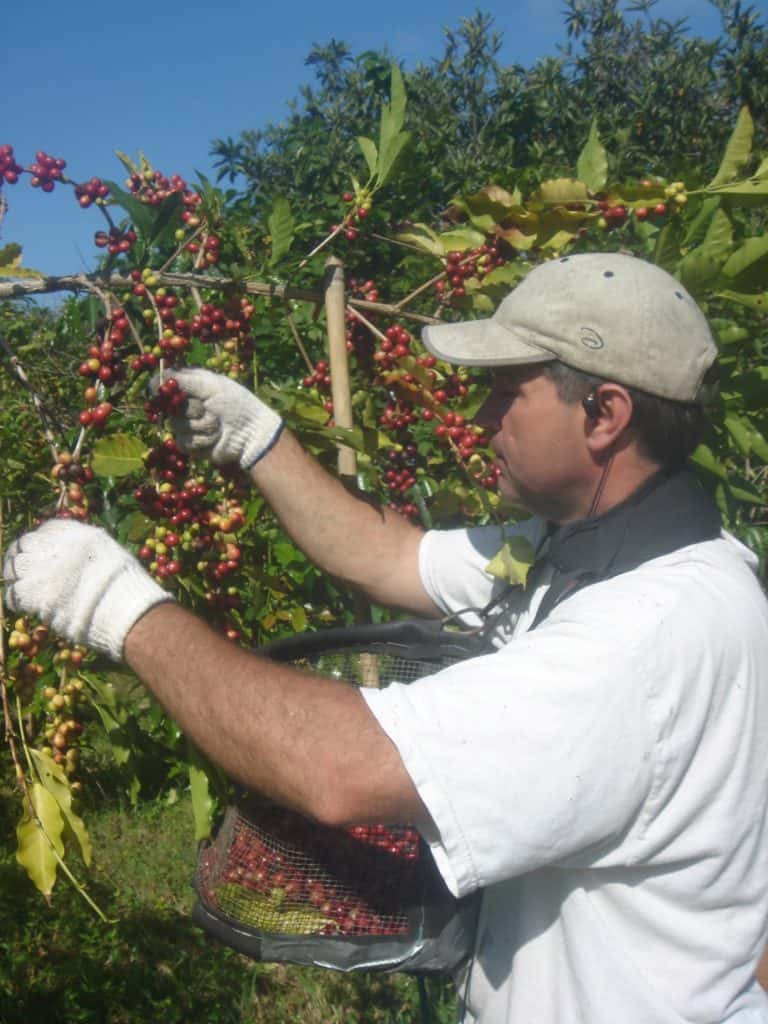 Tim picking coffee. Notice how there are ripe and non ripe coffee cherries on the same branch. That's what makes coffee picking challenging.