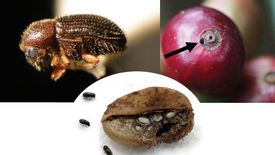Coffee berry borer and the damage it causes