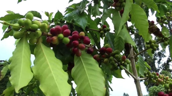 Coffee cherries of various ripeness on several branches